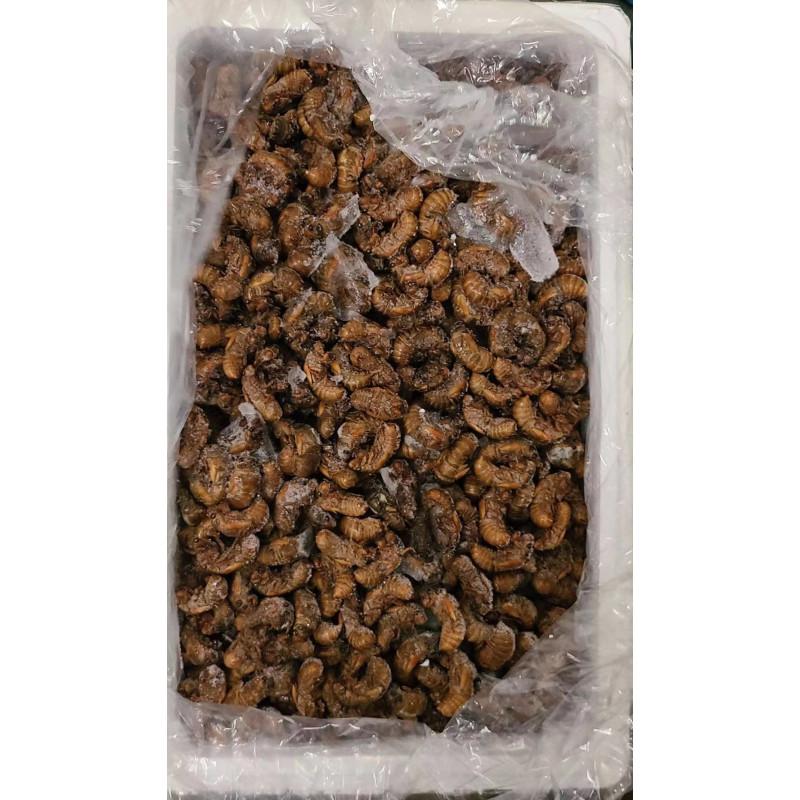 cicada-1lb
