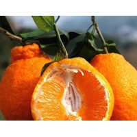 clementine scucree-1LB